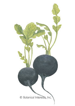 Radish Round Black Spanish HEIRLOOM Seeds