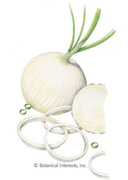 Onion Bulb Ringmaster Seeds