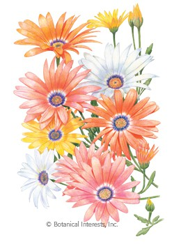 African Daisy Cape Marigold HEIRLOOM Seeds