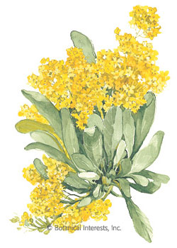 Alyssum Basket of Gold Compacta Seeds