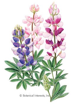 Lupine Pixie Delight HEIRLOOM Seeds