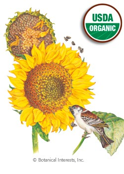 Sunflower Mammoth Russian Organic HEIRLOOM Seeds