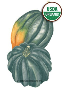 Squash Winter Sweet REBA Acorn Organic Seeds