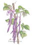 Bean Pole Trionfo Violetto HEIRLOOM Seeds