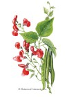 Bean Pole Runner Scarlet Emperor HEIRLOOM Seeds