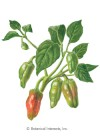 Pepper Chile Padron HEIRLOOM Seeds
