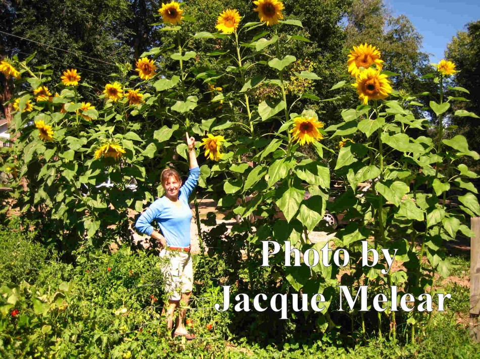 Sunflowers: Tips for Growing Tall Sunflowers